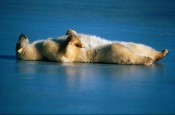 bear_sleeping_on_back